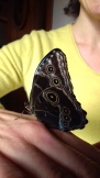 Papillon naissant